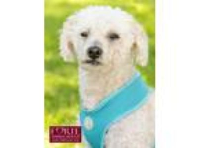 Adopt Toby a White Poodle (Miniature) / Mixed dog in Marina del Rey