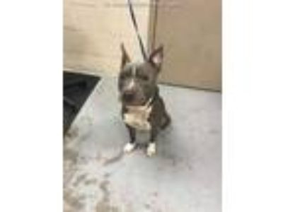 Adopt CADENCE a Gray/Silver/Salt & Pepper - with White American Pit Bull Terrier
