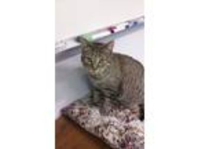 Adopt **Lyla a Domestic Short Hair