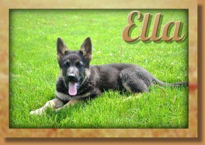 Ella Female AKC German Shepherd