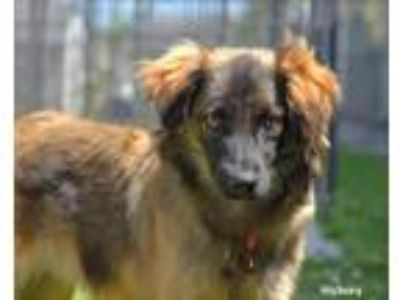 Adopt Hickory a Brown/Chocolate Spaniel (Unknown Type) / Australian Cattle Dog