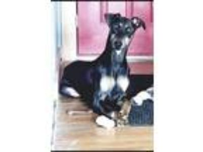 Adopt Diesel a Black - with Tan, Yellow or Fawn Doberman Pinscher / Mixed dog in
