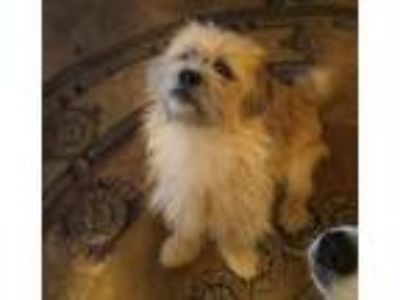 Adopt Timmy a Tan/Yellow/Fawn - with Black Tibetan Spaniel / Australian Shepherd