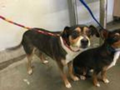 Adopt a Tricolor (Tan/Brown & Black & White) Beagle / Rat Terrier / Mixed dog in