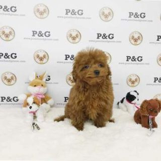 Poodle (Toy) PUPPY FOR SALE ADN-71252 - Poodle Toy Teddy Male