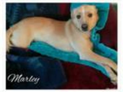Adopt Marley a Tan/Yellow/Fawn - with White Border Collie / Mixed dog in Cherry