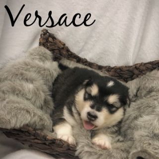 Alaskan Malamute PUPPY FOR SALE ADN-76863 - Alaskan Malamute Puppies