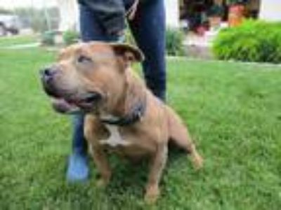 Adopt BELLA a Staffordshire Bull Terrier / Mixed dog in Lindsay, CA (25560662)