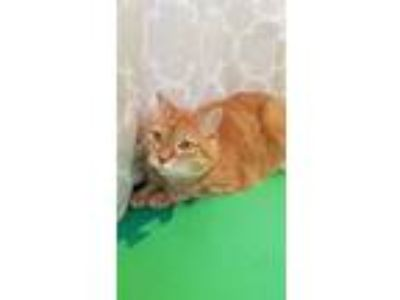 Adopt Perry a Orange or Red Tabby Domestic Mediumhair / Mixed cat in Royal Oak