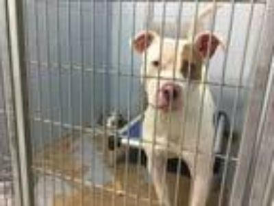 Adopt Baby Ruth a White American Pit Bull Terrier / Mixed dog in Lafayette