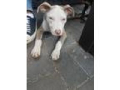Adopt Penny a White - with Tan, Yellow or Fawn Catahoula Leopard Dog / American