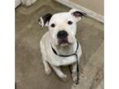 Adopt Rabri a White American Pit Bull Terrier / Mixed dog in Waxahachie