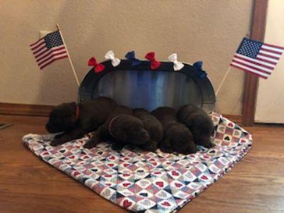 Labrador Retriever PUPPY FOR SALE ADN-83708 - Triple A Labradors