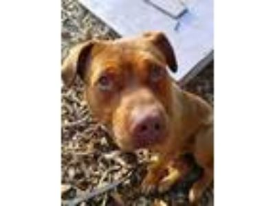 Adopt Jeff a Red/Golden/Orange/Chestnut Terrier (Unknown Type