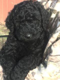 Labradoodle PUPPY FOR SALE ADN-52933 - Labradoodle Puppies