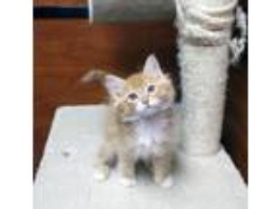 Adopt Timmy a Domestic Medium Hair