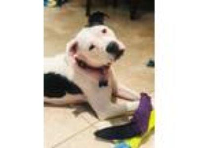 Adopt Cookie Girl a American Staffordshire Terrier, Boxer