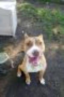 Bryant Pit Bull Terrier Dog