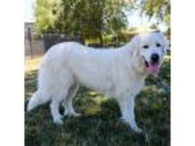 Adopt FiFi - ECAS a White - with Tan, Yellow or Fawn Great Pyrenees dog in
