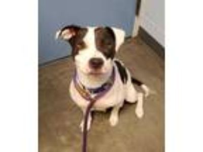 Adopt Crysta a White American Pit Bull Terrier / Mixed dog in DeKalb