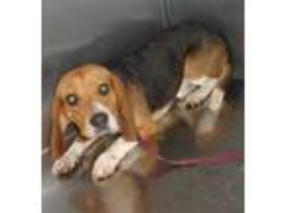 Adopt Eeyore a Beagle / Mixed dog in Raleigh, NC (25519336)
