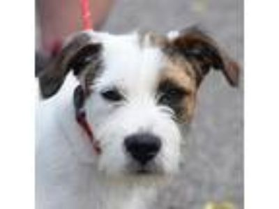 Adopt Tortuga a White - with Tan, Yellow or Fawn Wirehaired Fox Terrier / Jack
