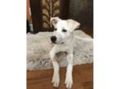 Adopt Chloe a White Labrador Retriever / Great Pyrenees / Mixed dog in Haddock