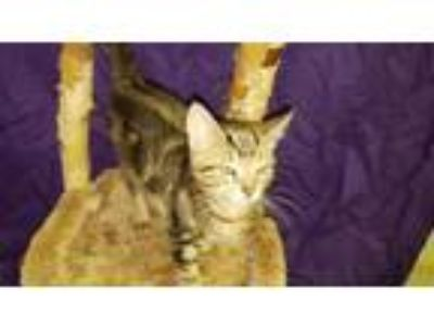 Adopt Scuttle a Domestic Short Hair