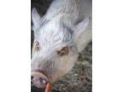 Adopt Zira a Pig (Potbellied) farm-type animal in White Plains, NY (25894691)