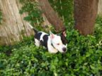 Adopt Dotty a White - with Black American Pit Bull Terrier dog in Cedar Park