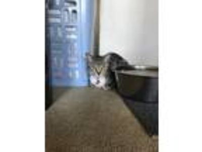 Adopt Strauss a Gray, Blue or Silver Tabby American Shorthair / Mixed cat in