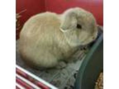 Adopt Butterscotch a Tan Lop, Holland / Other/Unknown / Mixed rabbit in Eugene