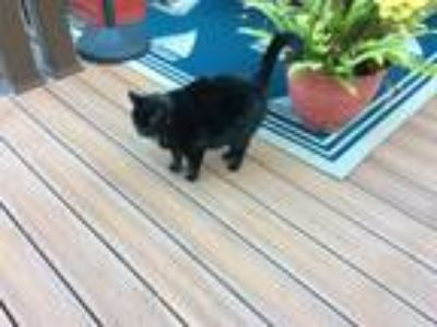 Adopt Mimi a Black (Mostly) American Shorthair / Mixed cat in Huntington