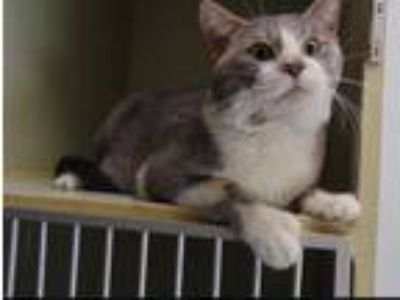 Adopt Ronan a Gray or Blue Domestic Shorthair (short coat) cat in Huntley