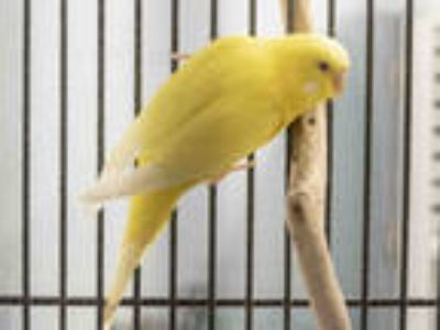 Adopt a Yellow Parakeet - Other / Mixed bird in Agoura, CA (25366781)