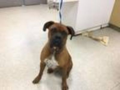 Adopt Dog a Boxer, Mixed Breed