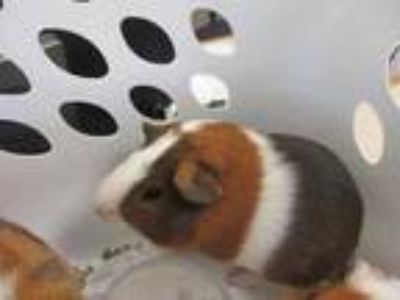 Adopt Squirrel a Tan or Beige Guinea Pig / Guinea Pig / Mixed small animal in