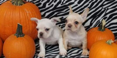 French Bulldog PUPPY FOR SALE ADN-101492 - AKC French Bulldog Puppies