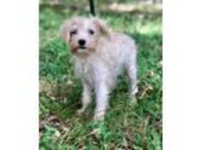 Adopt GRAHAM a White - with Tan, Yellow or Fawn Terrier (Unknown Type