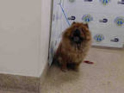 Adopt CHINA a Red/Golden/Orange/Chestnut Chow Chow / Mixed dog in Doral