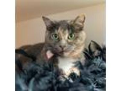 Adopt Bubbles a Domestic Shorthair / Mixed cat in Golden, CO (25330497)