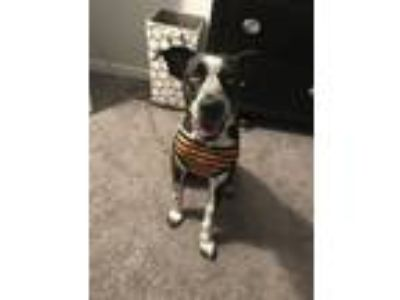 Adopt Afina a Black - with White Border Collie / Collie / Mixed dog in San