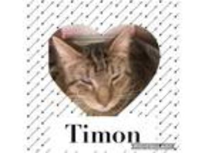 Adopt Timon a Domestic Short Hair
