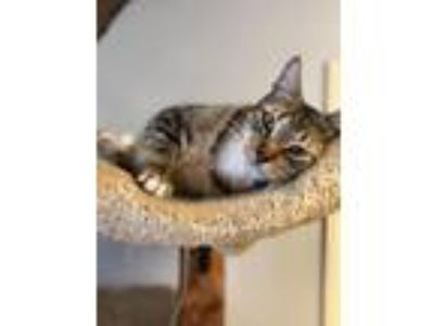 Adopt Jeepers a Domestic Short Hair