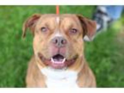 Adopt Norman a Tan/Yellow/Fawn - with White Mixed Breed (Large) / Mixed dog in