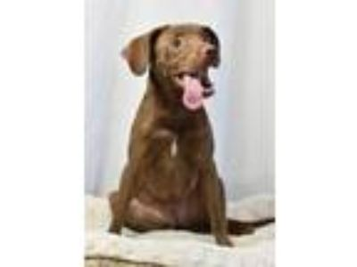 Adopt Bunny a Labrador Retriever / Terrier (Unknown Type
