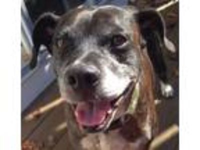 Adopt Two Socks a Brindle Boxer / Terrier (Unknown Type, Medium) / Mixed dog in