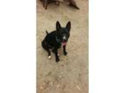 Adopt Bentley H a Black - with White Blue Heeler / Mixed dog in East Hartford