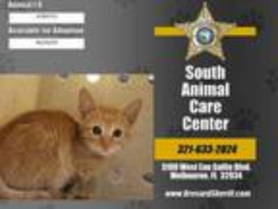 Adopt OSSIE a Orange or Red Tabby Domestic Shorthair / Mixed (short coat) cat in