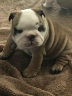 English Bulldogge PUPPY FOR SALE ADN-102068 - English bulldog puppies